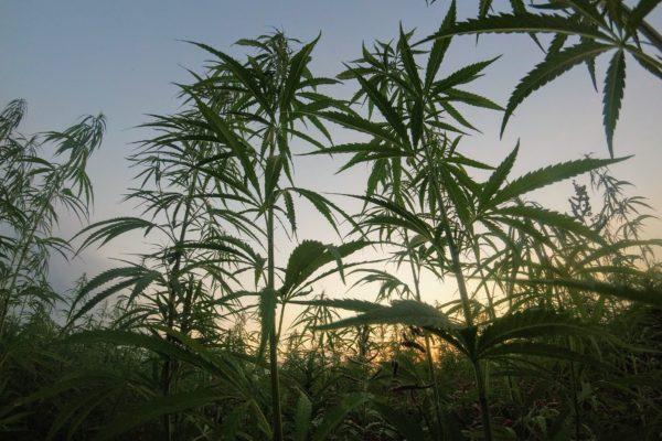 Aurora Cannabis: deel 2